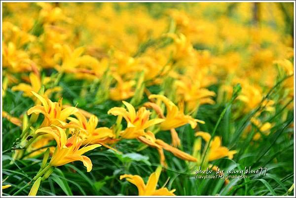 daylily04.jpg