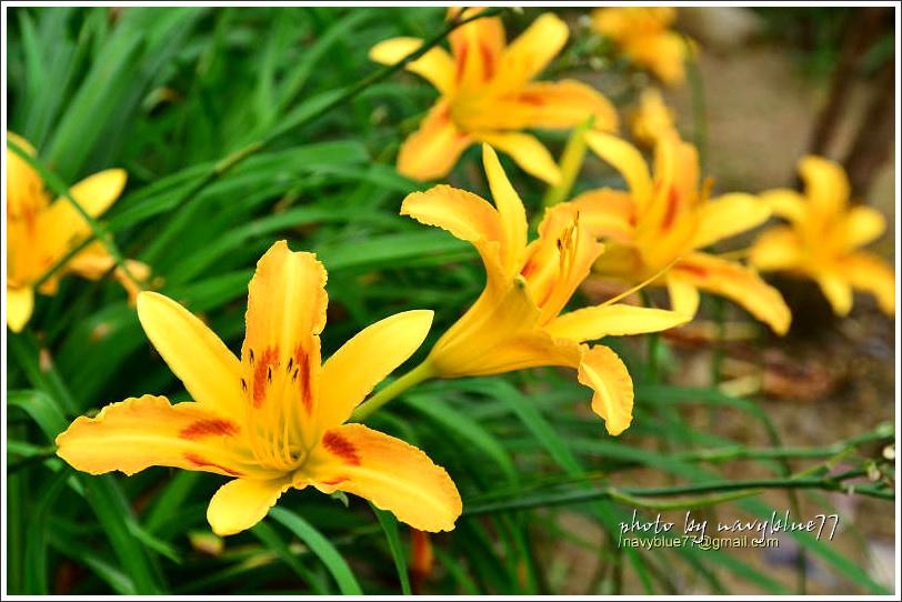 daylily05.jpg