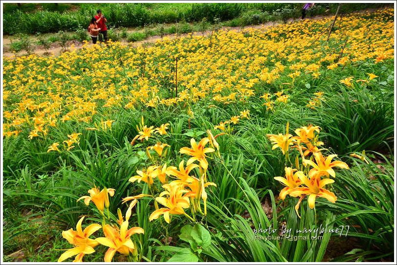 daylily08.jpg