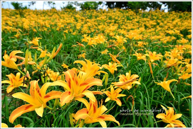 daylily10.jpg