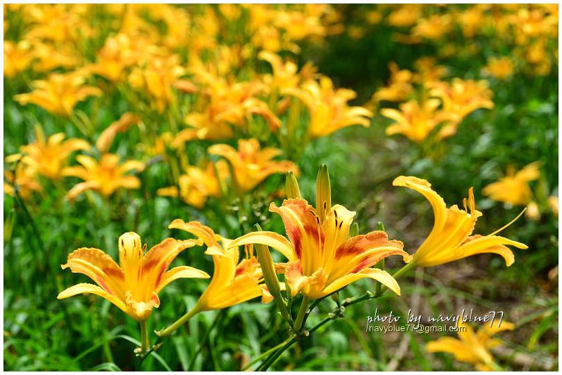 daylily14.jpg