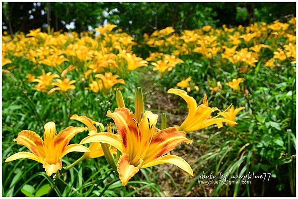 daylily16.jpg