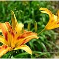 daylily15.jpg