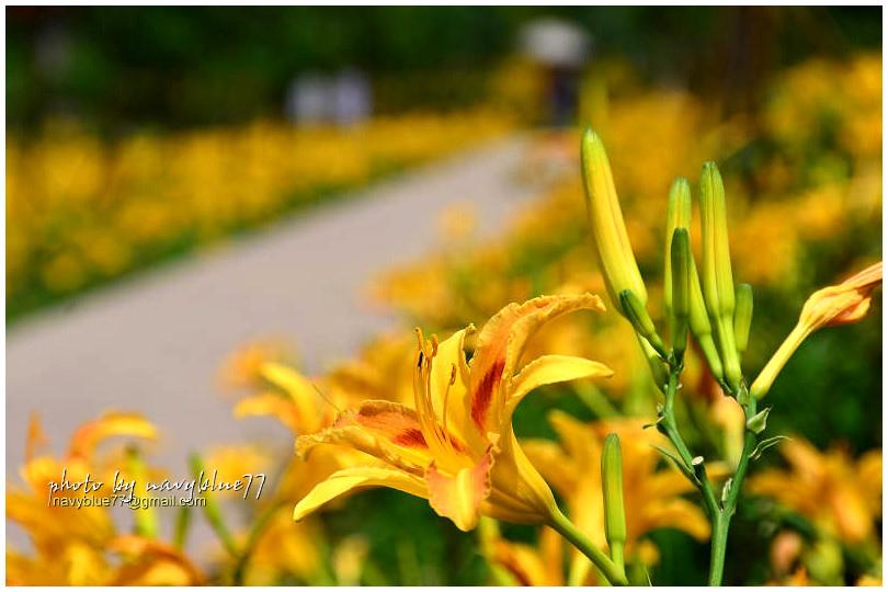 daylily19.jpg