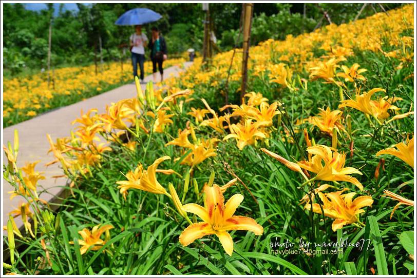 daylily20.jpg