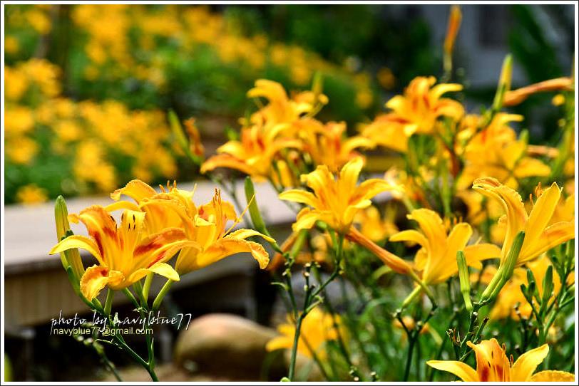 daylily21.jpg