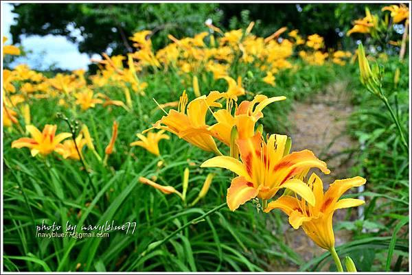 daylily29.jpg