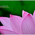 waterlily2014-49.jpg