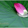 waterlily2014-00.jpg