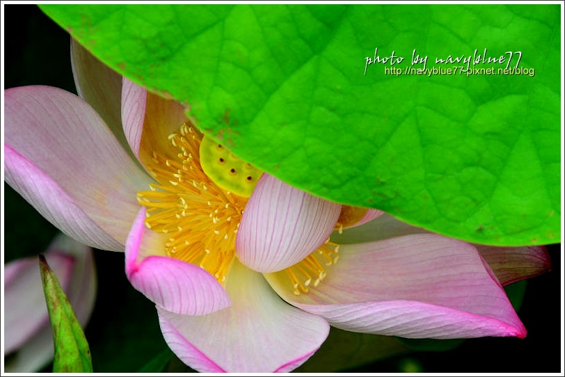waterlily2014-01.jpg