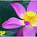 waterlily2014-02.jpg