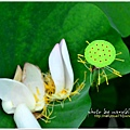 waterlily2014-03.jpg