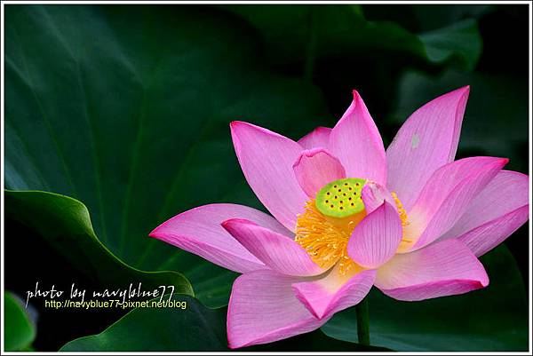 waterlily2014-04.jpg