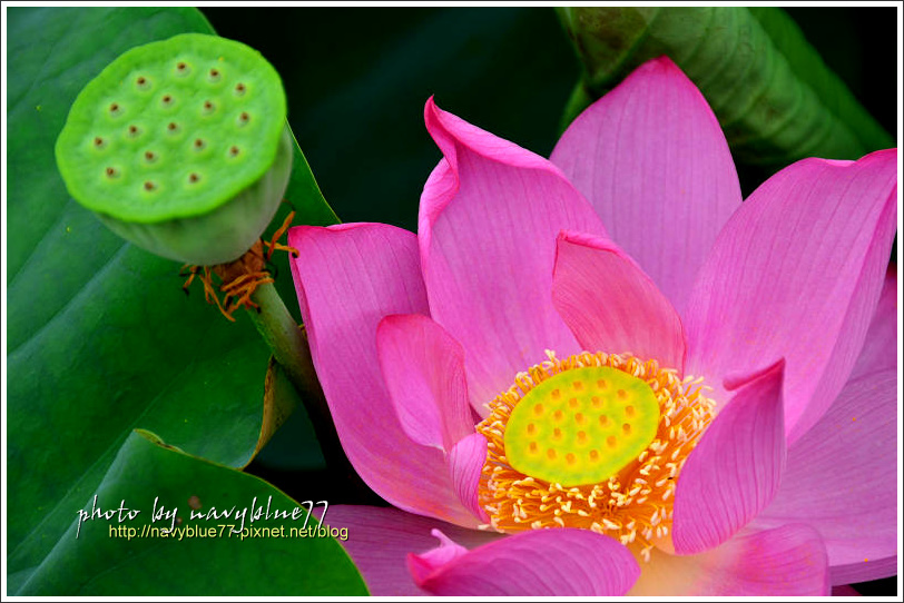 waterlily2014-05.jpg
