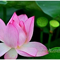 waterlily2014-06.jpg