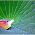 waterlily2014-11.jpg