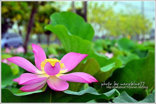 waterlily2014-09.jpg