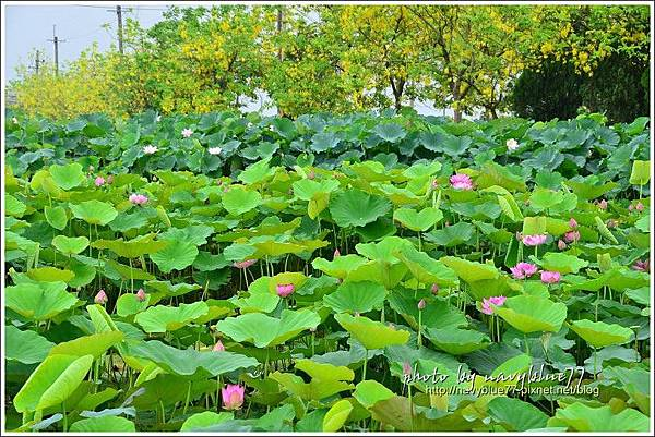 waterlily2014-10.jpg
