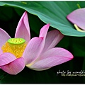 waterlily2014-19.jpg