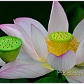 waterlily2014-20.jpg