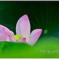 waterlily2014-21.jpg