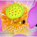 waterlily2014-22.jpg