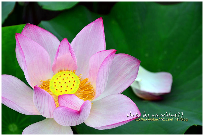 waterlily2014-24.jpg