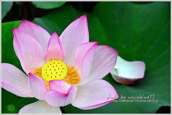 waterlily2014-24.jpg