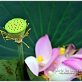 waterlily2014-26.jpg