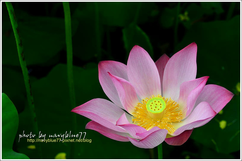 waterlily2014-32.jpg