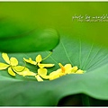 waterlily2014-31.jpg