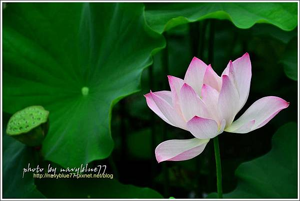 waterlily2014-35.jpg