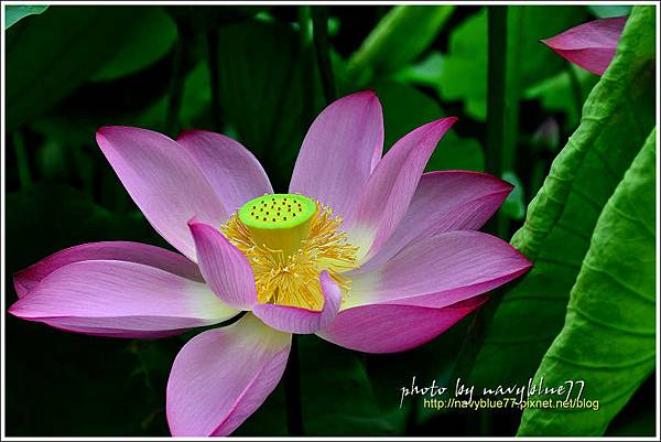 waterlily2014-38.jpg