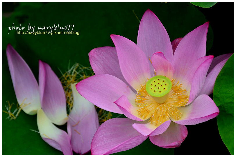 waterlily2014-39.jpg
