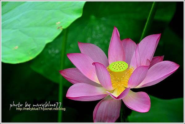 waterlily2014-40.jpg