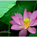 waterlily2014-40.jpg