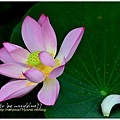 waterlily2014-41.jpg