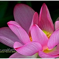 waterlily2014-42.jpg