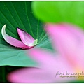 waterlily2014-46.jpg