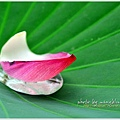 waterlily2014-48.jpg