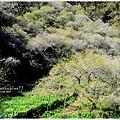 牛稠坑柳家梅園後山祕境10.jpg