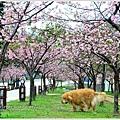 新竹麗池公園賞櫻01.jpg