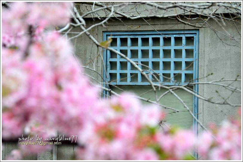 新竹麗池公園賞櫻06.jpg