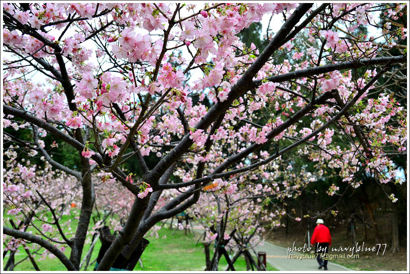 新竹麗池公園賞櫻07.jpg