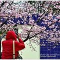 新竹麗池公園賞櫻12.jpg