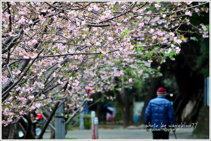 新竹麗池公園賞櫻13.jpg