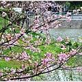 新竹麗池公園賞櫻17.jpg