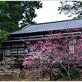 新竹麗池公園賞櫻18.jpg