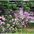 新竹麗池公園賞櫻19.jpg