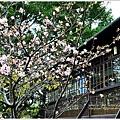 新竹麗池公園賞櫻20.jpg